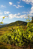 Vine plants and hills — Stockfoto