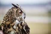 Close up of eagle owl — Stock Photo