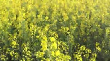 Flying over the rapeseed cultivated field — Stock Video