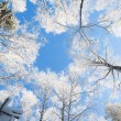 Blue sky in winter forest — Stock Photo #56535351
