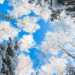 Blue sky in winter forest — Stock Photo #56535355