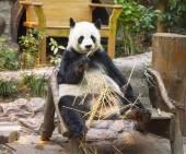 Giant panda bear eating bamboo — Stock Photo