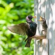 Starling feed his nestling — Stock Photo #60611419