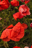 Red poppy flower in nature — Stock Photo