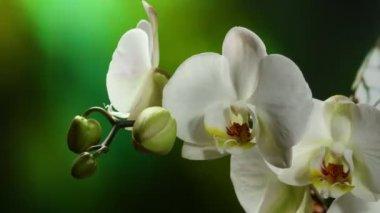 Orchiday Flower Blossom Burgeon — Stock Video