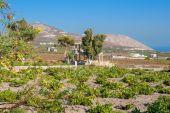 Vineyard. Santorini island, Greece — Stock Photo