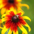 Bee on rudbeckia flower — Stock Photo #71932467