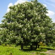 Chestnut tree with white flowers and blue sky — Stock Photo #63157707