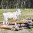 White goat eating grass — Stock Photo #53028275