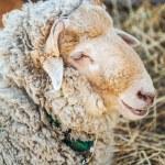 Large sheep — Stock Photo #53028511
