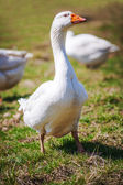 Beautiful goose — Stock Photo
