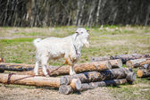 White goat eating grass — Stock Photo
