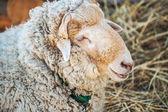 Large sheep — Stock Photo
