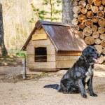 Black dog on chain — Stock Photo #53030631