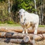 White goat eating grass — Stock Photo #53976851