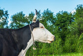 Cow eats grass — Stockfoto