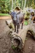 Black goat climbed on log — Stock Photo