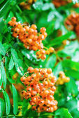 Hippophae, the sea-buckthorns, are deciduous shrubs in the famil — Stock Photo