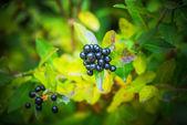 Privet is a flowering plant in genus Ligustrum — Stock Photo