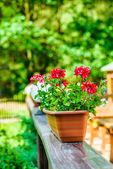 Begonia is genus of perennial flowering plants — Stock Photo