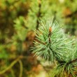Blossoming pine — Stock Photo #60421083