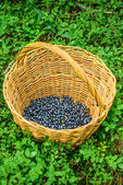 Blueberries are perennial flowering plants — Stock Photo