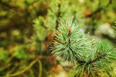 Blossoming pine — Stock Photo