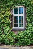 Windows covered with ivy — Stock Photo