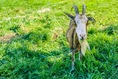 Most goat with long horns grazing — Stock Photo