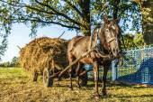 Black horse harnessed to cart with hay — Stockfoto