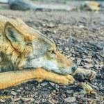 Постер, плакат: Gray wolf Canis lupus