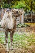 Camelus dromedarius — Zdjęcie stockowe