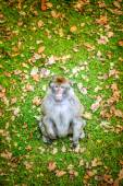 Rhesus macaque (Macaca mulatta) — Stockfoto