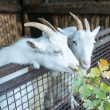 White goats — Stock Photo #61448561