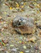 Suricata suricatta — Stock Photo