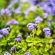 Ageratum — Stock Photo #61893051