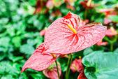 Anthurium — Stock Photo