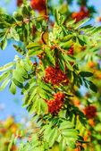 Sorbus — Stock Photo