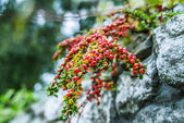 Pyracantha — Stock Photo