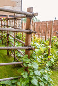 Vine in narrowest sense is grapevine — Stock Photo