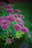 Sedum Hylotelephium — Stock Photo