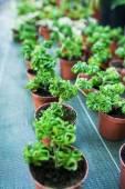 Pelargonium odoratissimum — Stock Photo