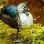 Duck on green coast city park — Stock Photo #70218597