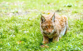 Eurasian lynx — Stock Photo