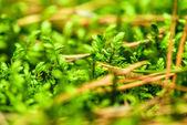 Calluna vulgaris — Stock Photo