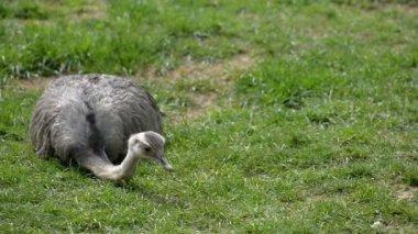 Ostrich on grass — Stock Video