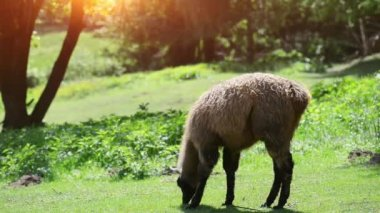 Llama on grass — Wideo stockowe