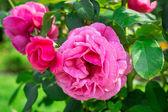 Rosa rosor i trädgården — Stockfoto