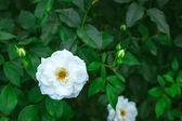 Vit ros i trädgården — Stockfoto