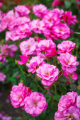 Pink roses in garden — Stock Photo